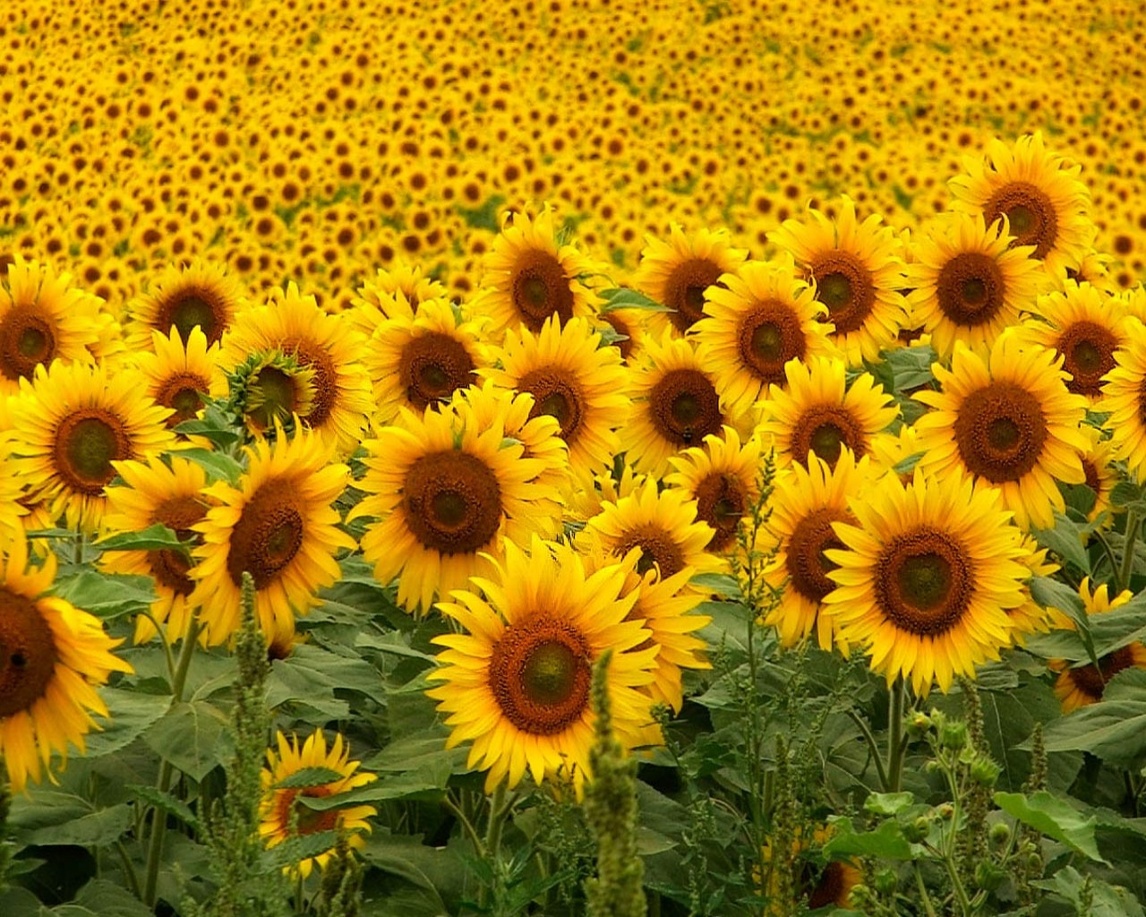 sunflowers-1280x1024